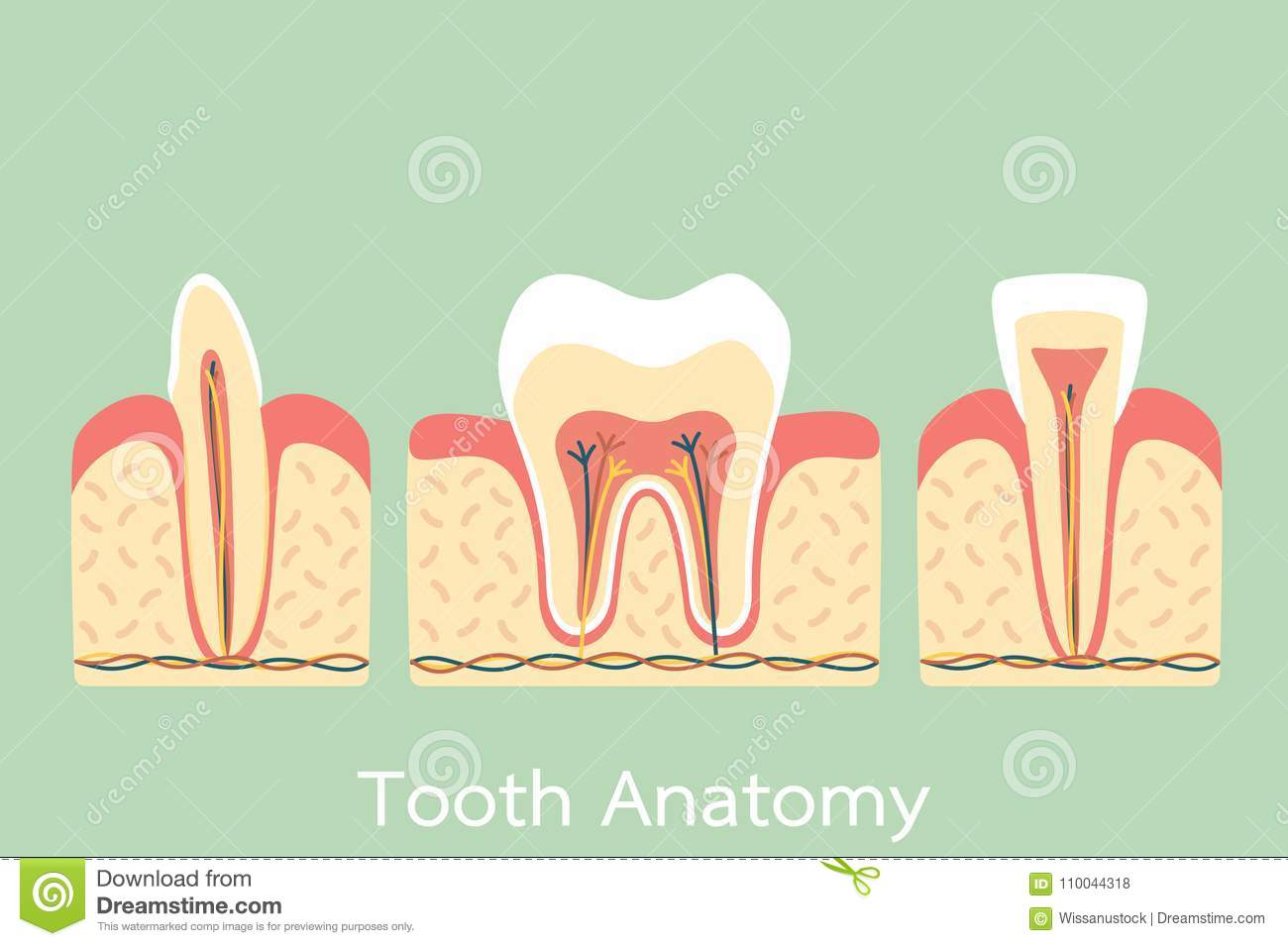 Group Of Tooth Anatomy Structure Including The Bone And Gum Molar