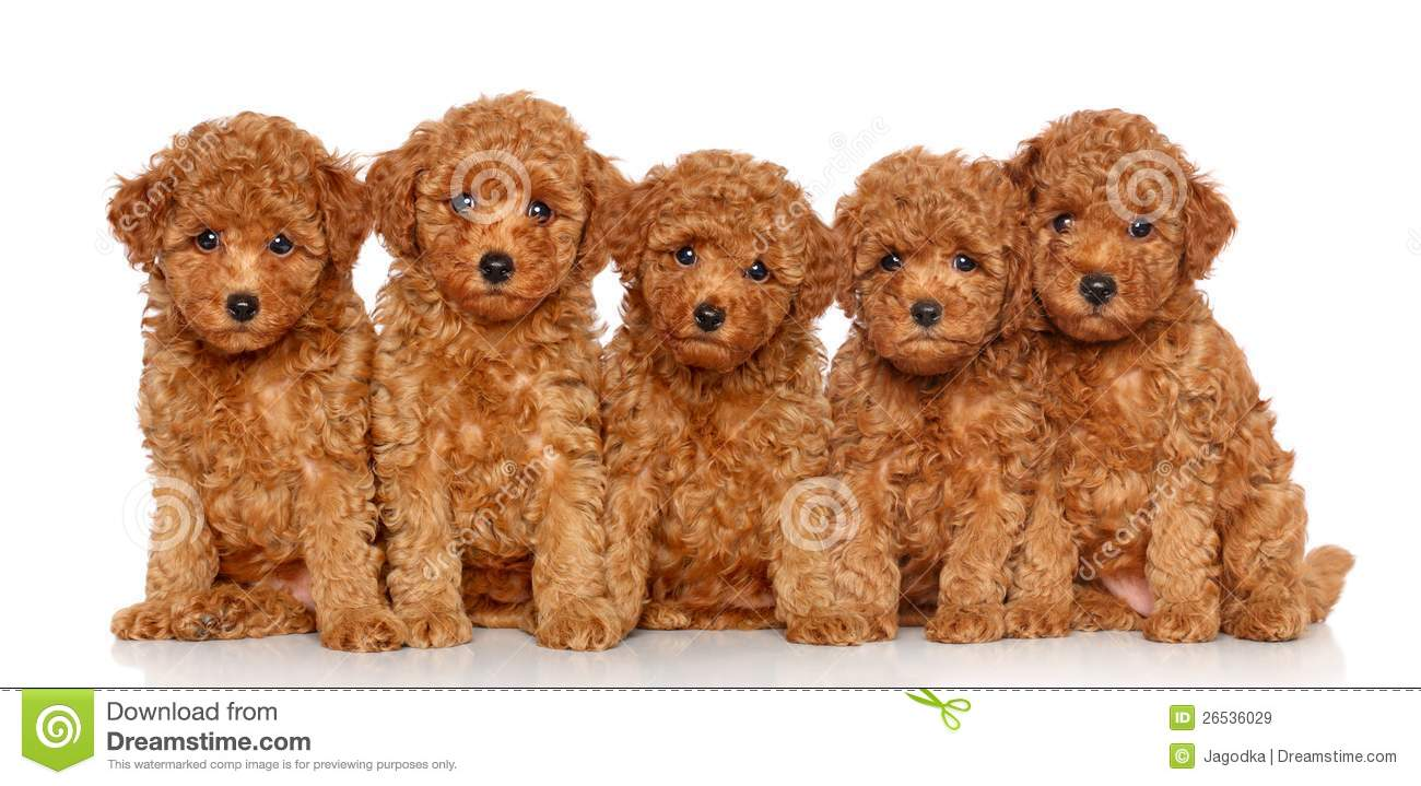 Group Toy Dogs : Group of toy poodle puppies stock image