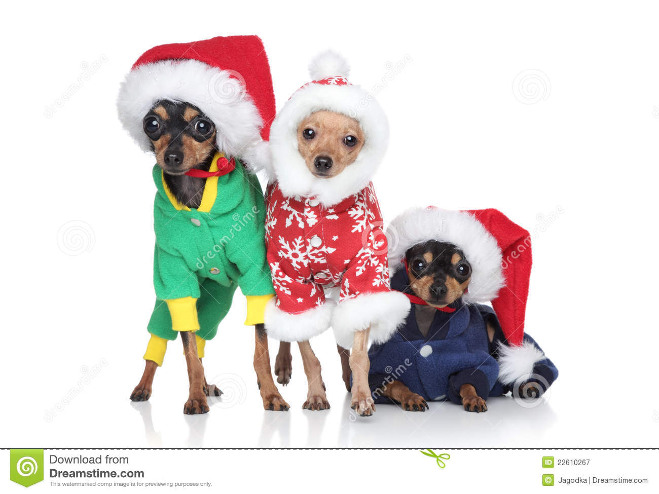 Group of toy-terrier puppies in Christmas hats