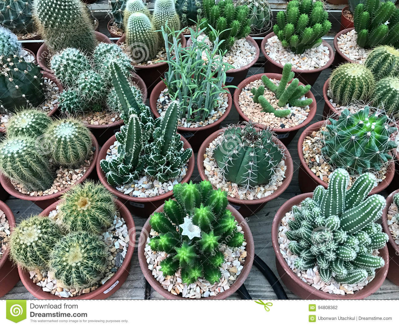 Group Of Various Type Of Cactus In Pot For Home Decoration ...