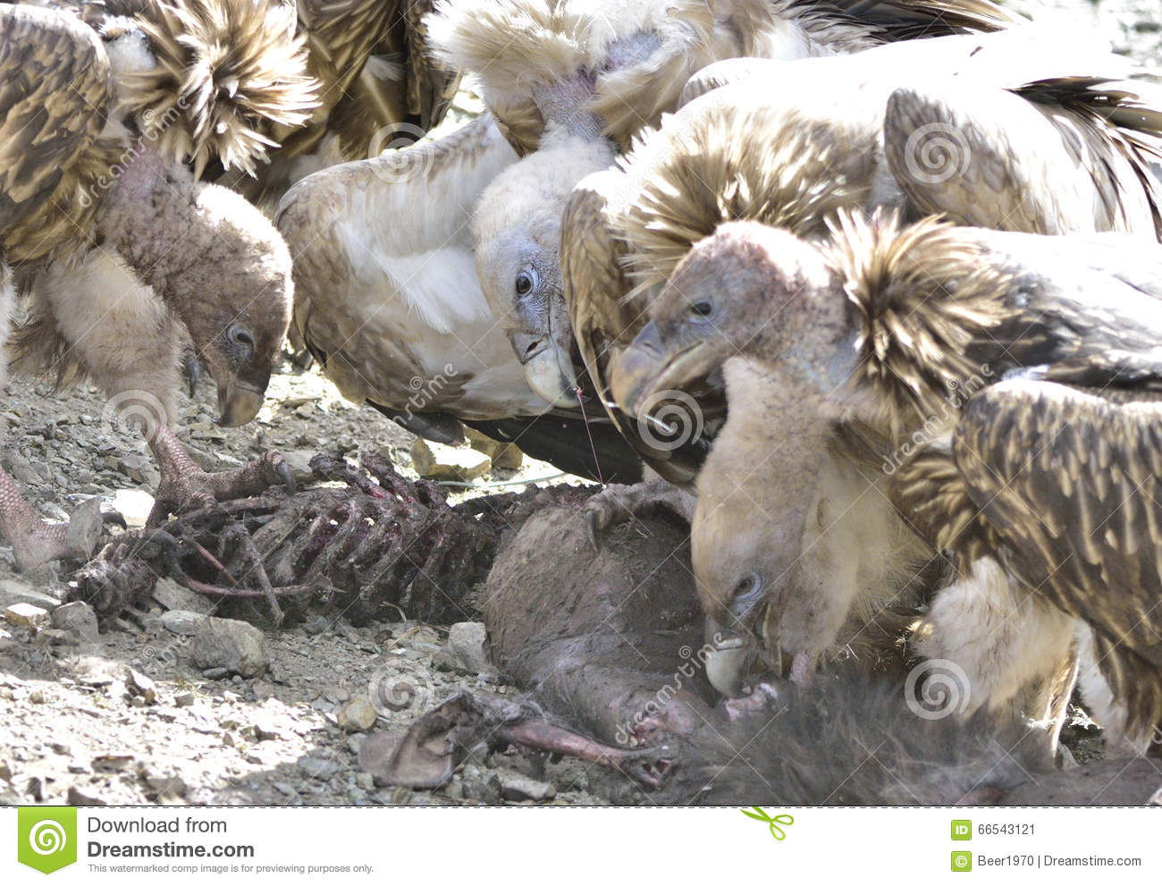 A Group Of Vultures Ar...