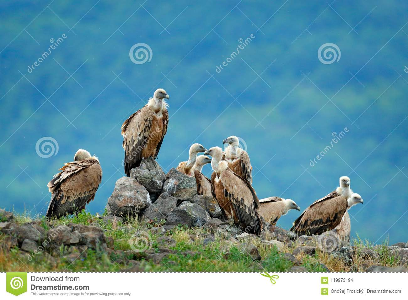 Group Of Vultures Griffon Vulture Gyps Fulvus Big Birds Of Prey Sitting On The Rocky Mountain Nature Habitat Spain Wildlife Stock Photo Image Of Portrait Nature 119973194