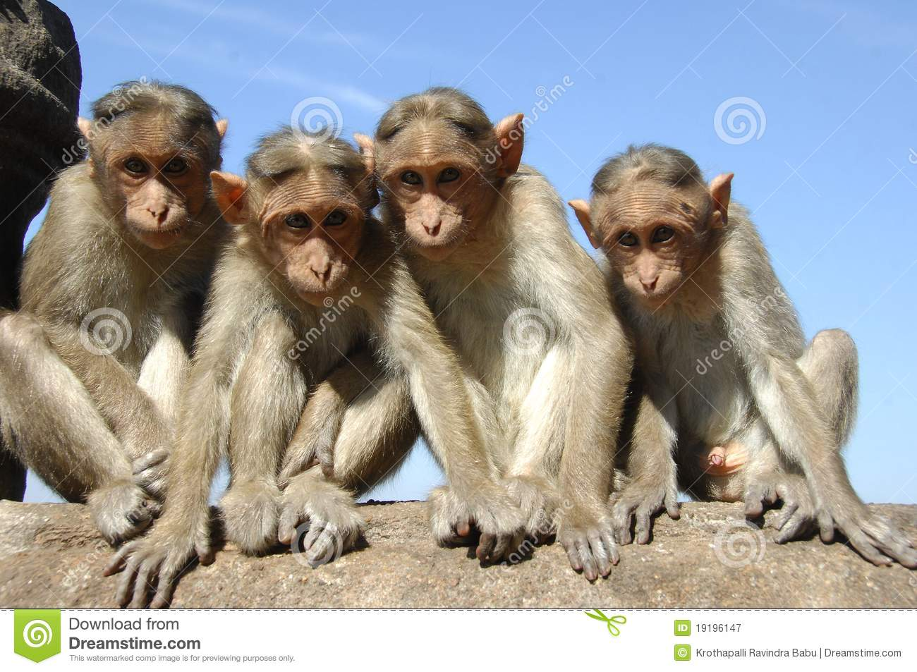Group of watching monkeys