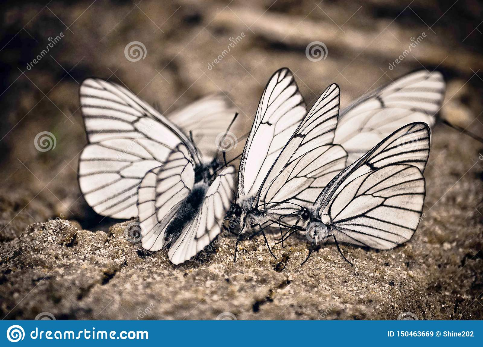 A group of white large butterflies that sit together next to each other