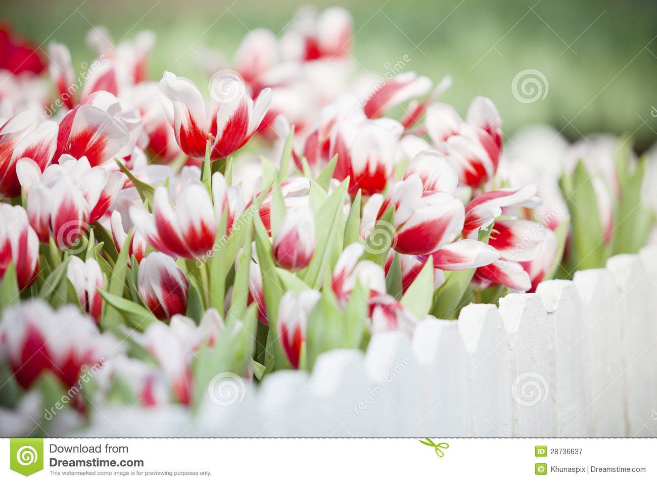 Group Of White And Red Tulip Flowers In The Garden Stock Image