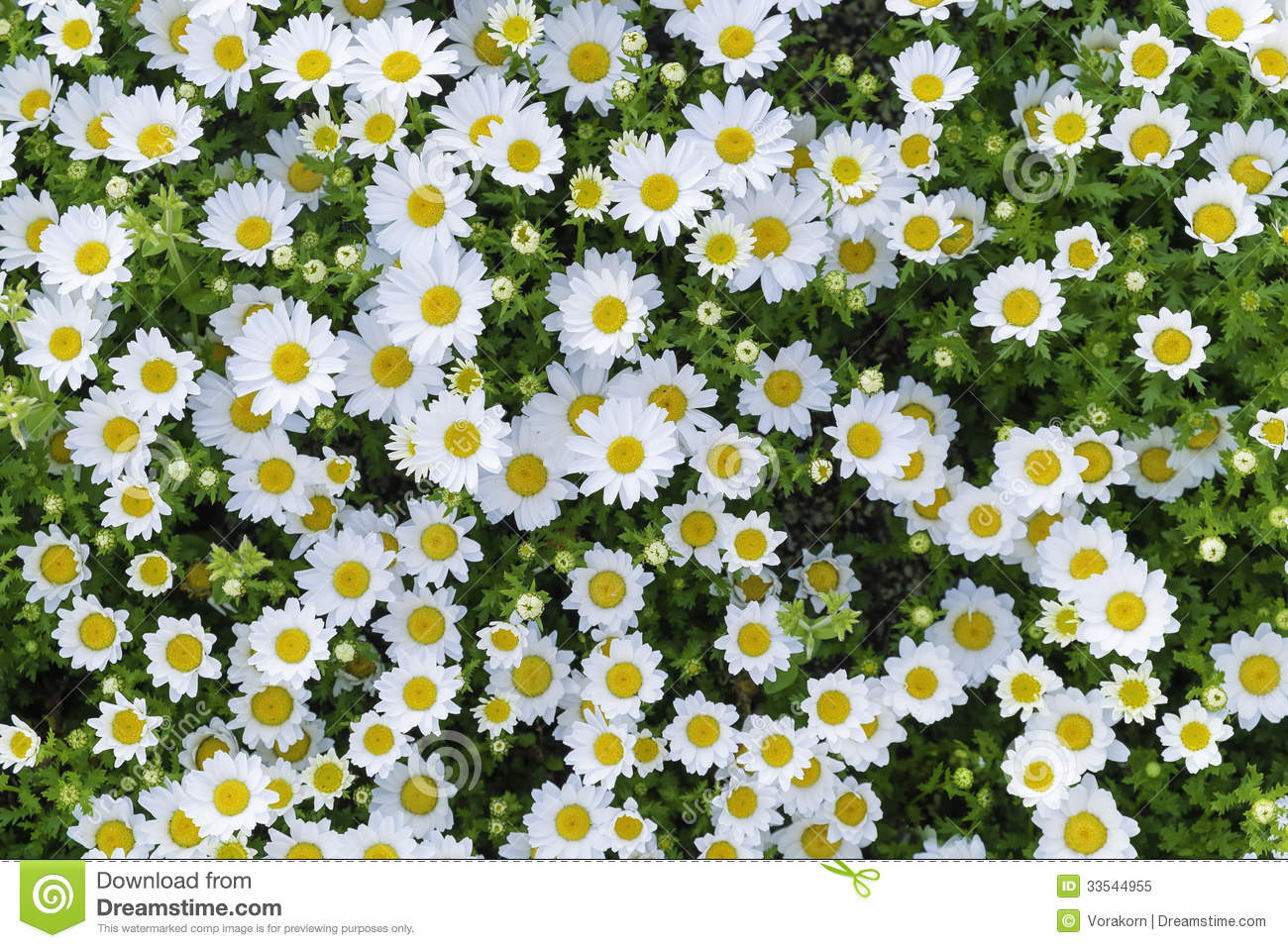 Group of white yellow flower stock image image of leaf nature group of white yellow flower mightylinksfo
