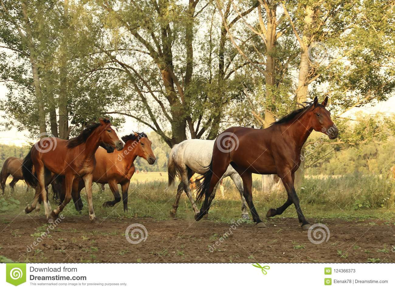 Group of wild horses running across the field