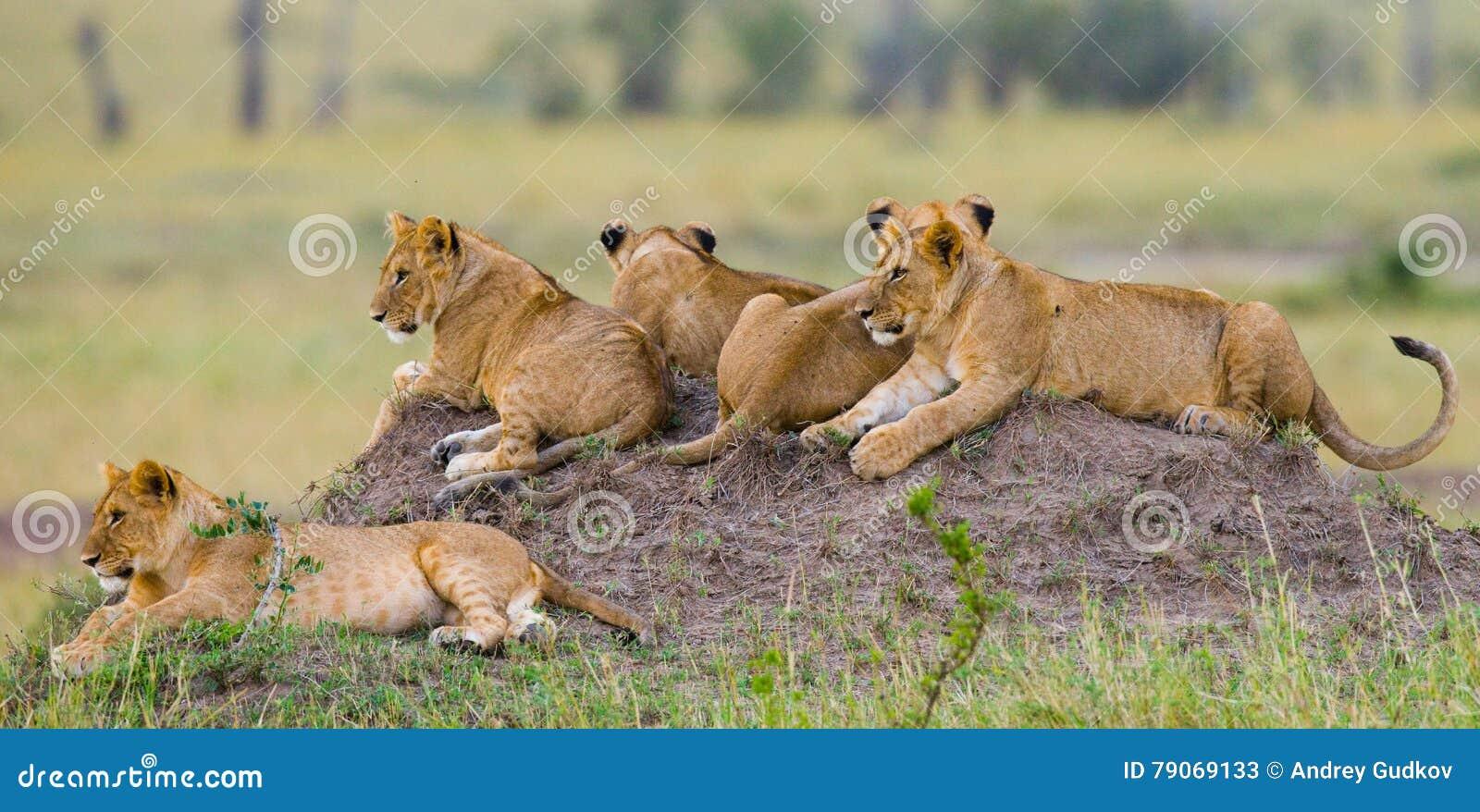 Group of young lions on the hill. National Park. Kenya. Tanzania. Masai Mara. Serengeti.