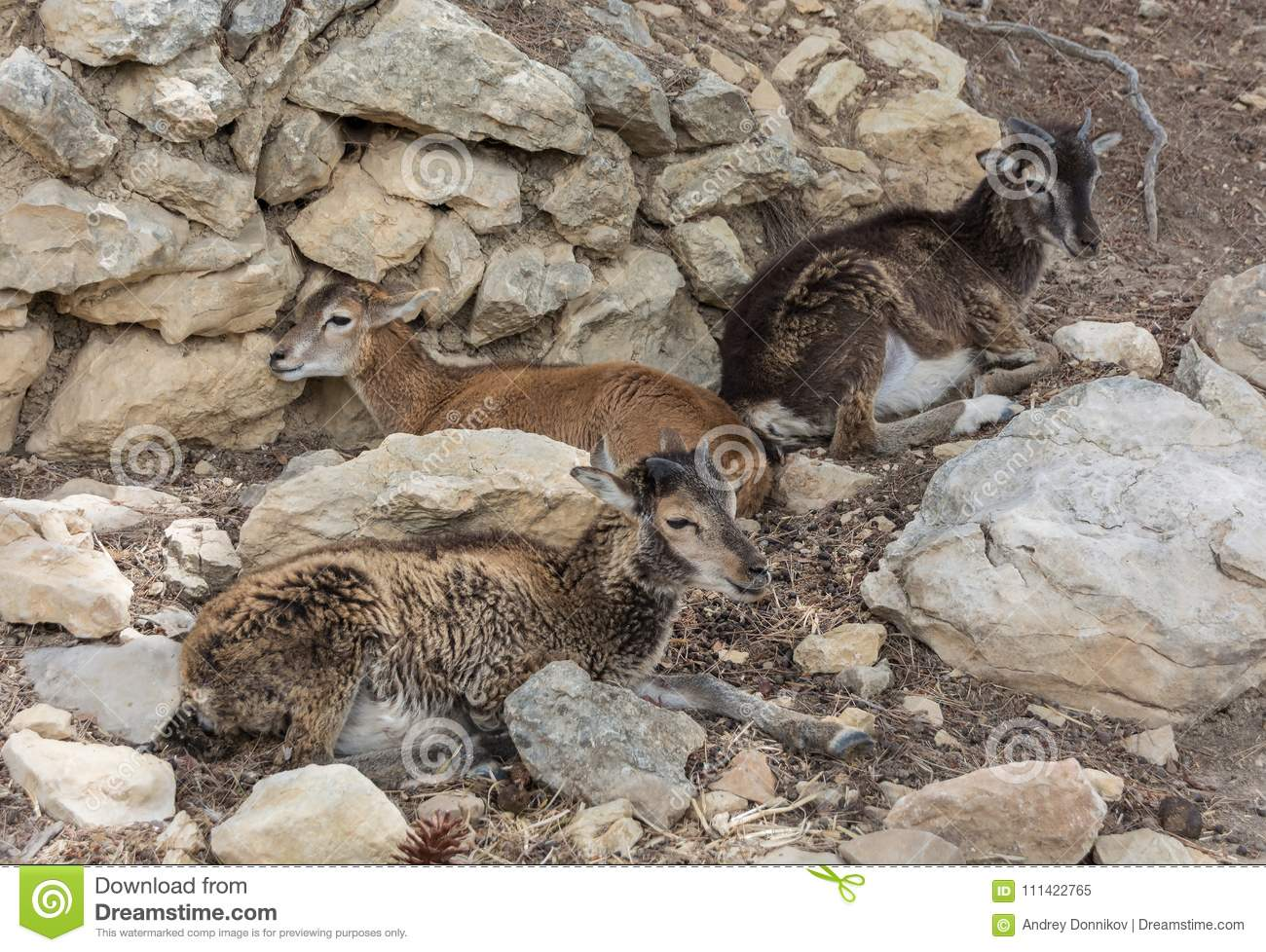 Group of young Mouflons, Ovis gmelini or Ovis orientalis lying on the rocks