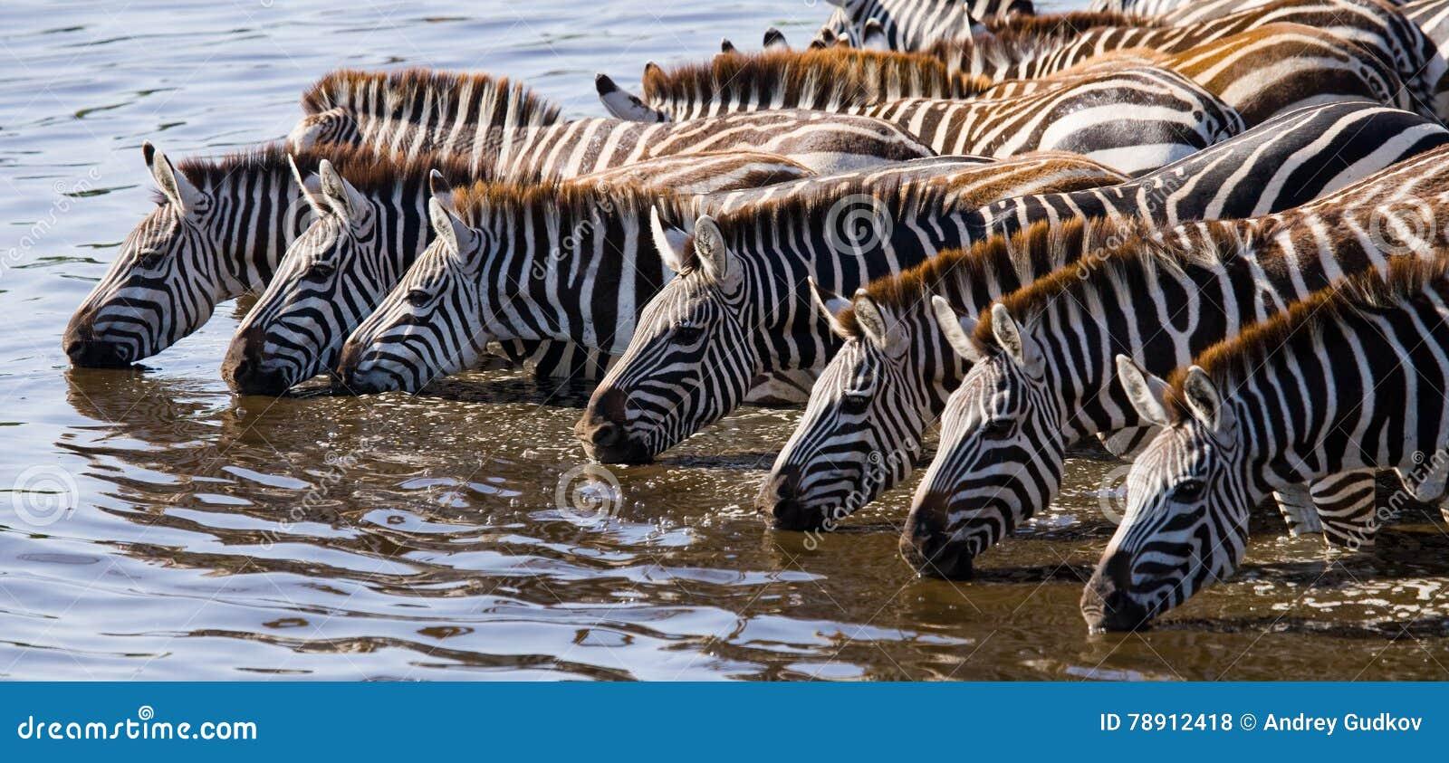 Group of zebras drinking water from the river. Kenya. Tanzania. National Park. Serengeti. Maasai Mara.