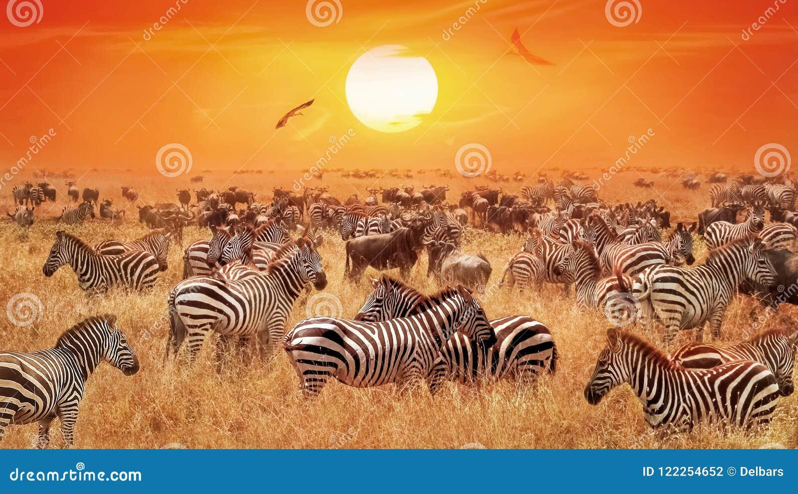 Groupe av lösa sebror och antilop i den afrikanska savannet mot en härlig orange solnedgång Lös natur av Tanzania