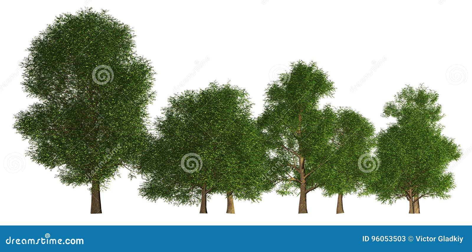 Groupe d arbres d isolement sur l illustration 3d blanche