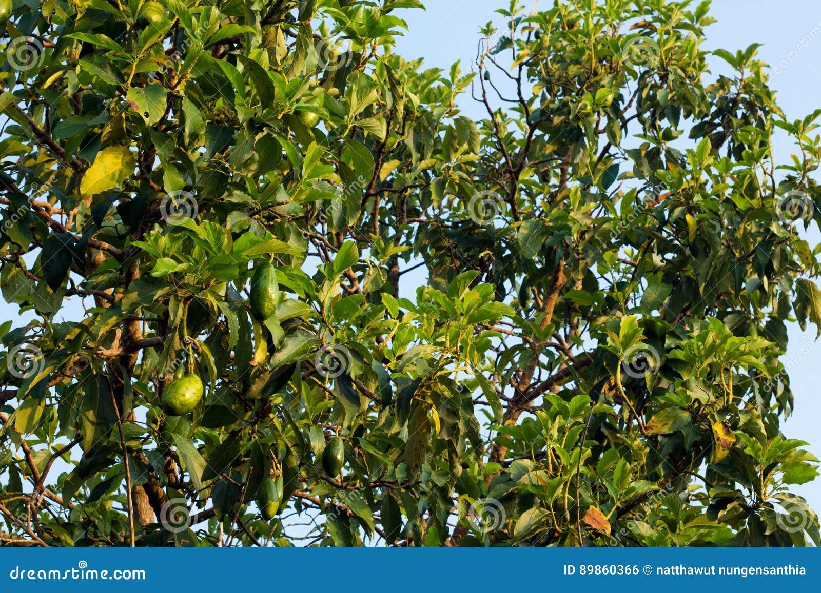 groupe d'avocats mûrs sur l'arbre photo stock - image du arbre
