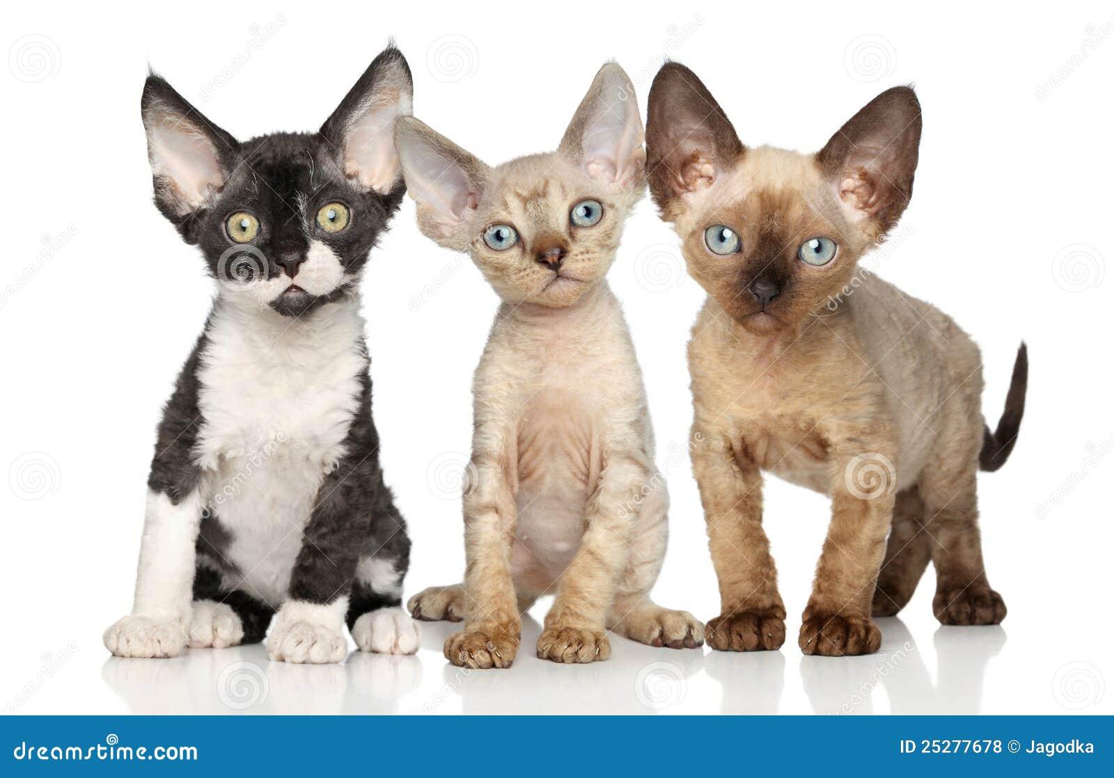 Groupe de chaton du devon rex sur le fond blanc photos - Chaton devon rex ...