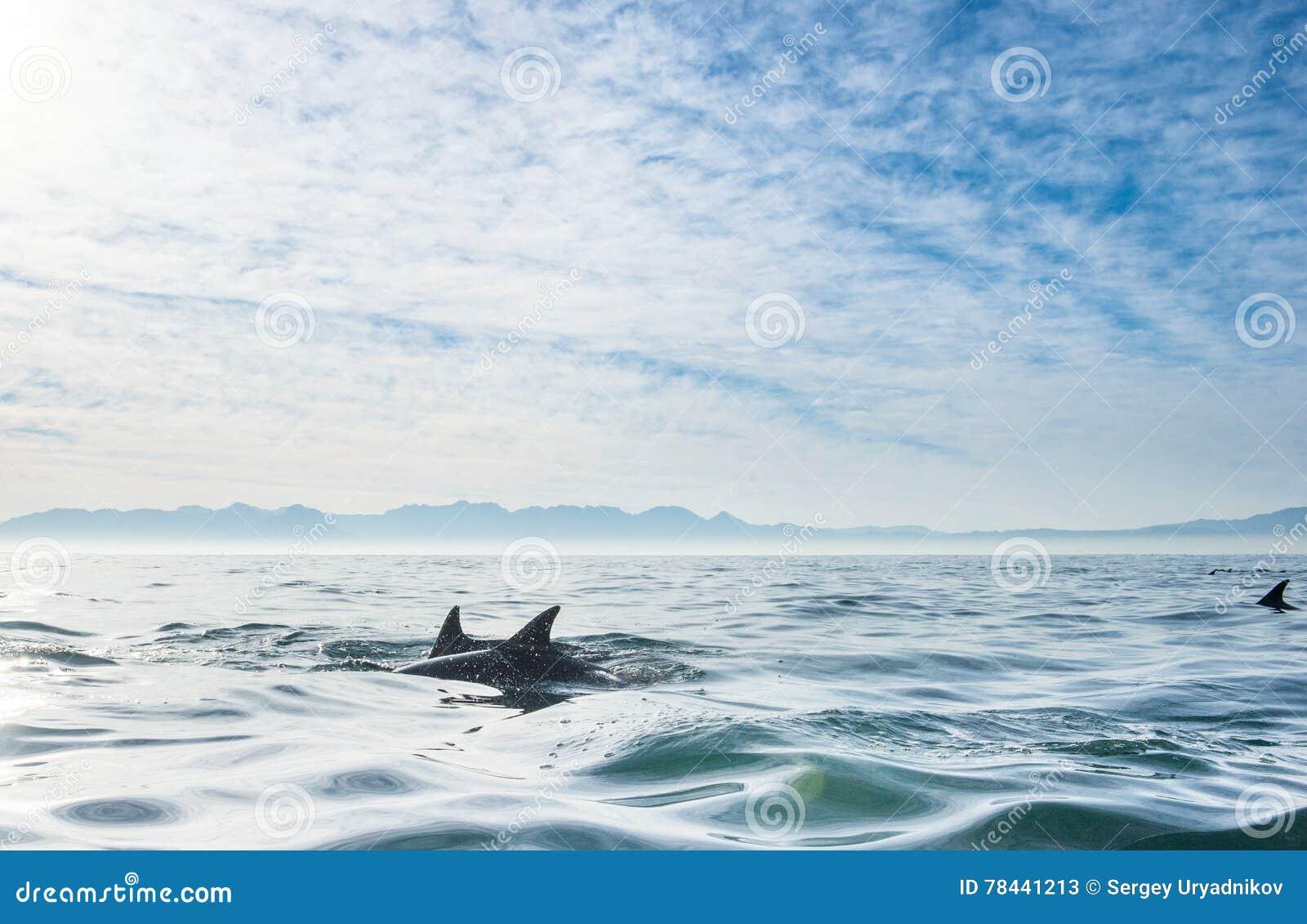 Groupe de dauphins, nageant dans l océan