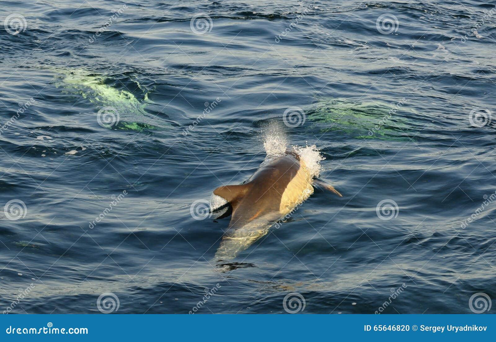 Groupe de dauphins, nageant dans l océan et chassant pour des poissons