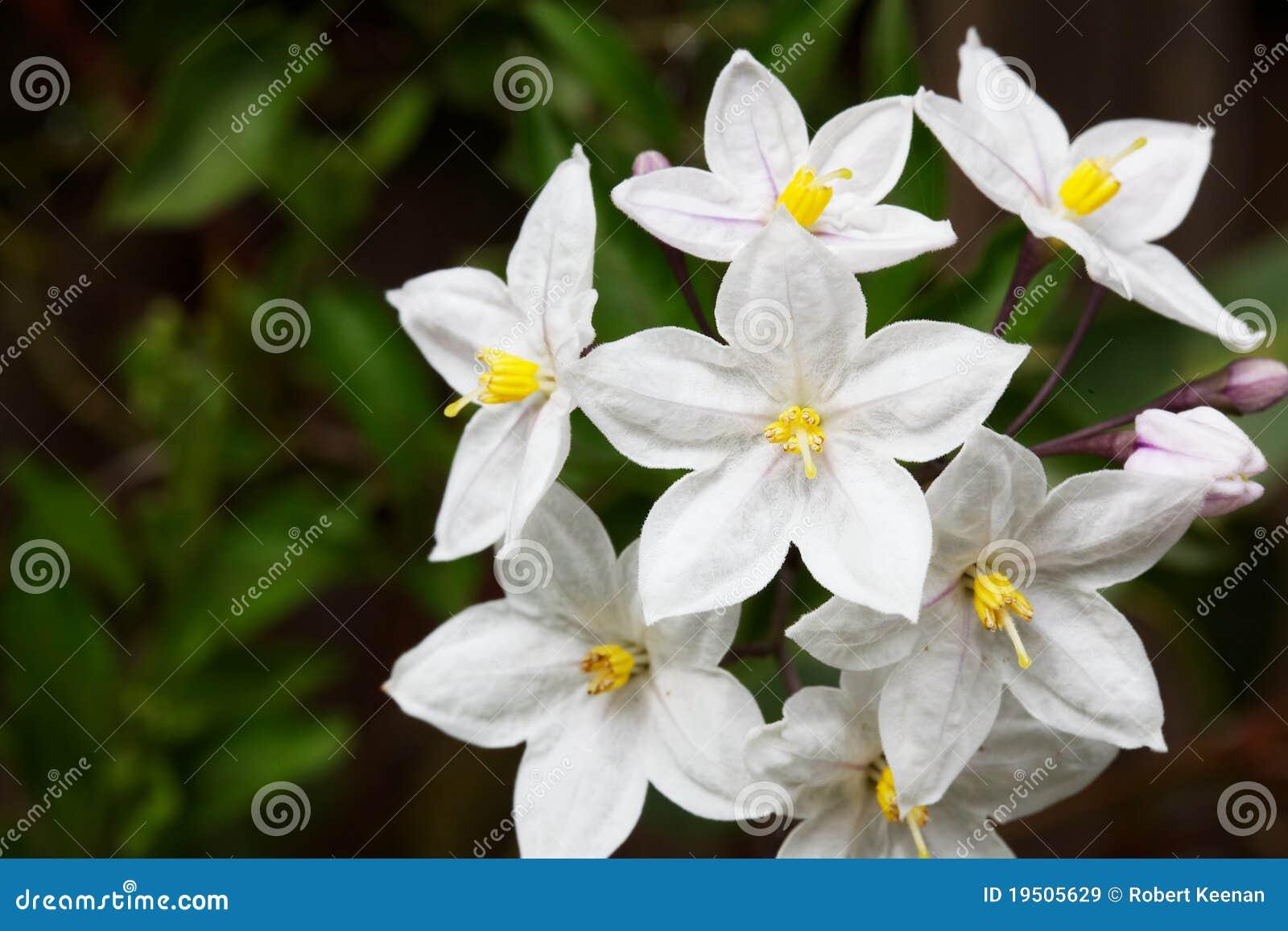 groupe de fleurs de vigne de pomme de terre image stock image du nature fleur 19505629. Black Bedroom Furniture Sets. Home Design Ideas