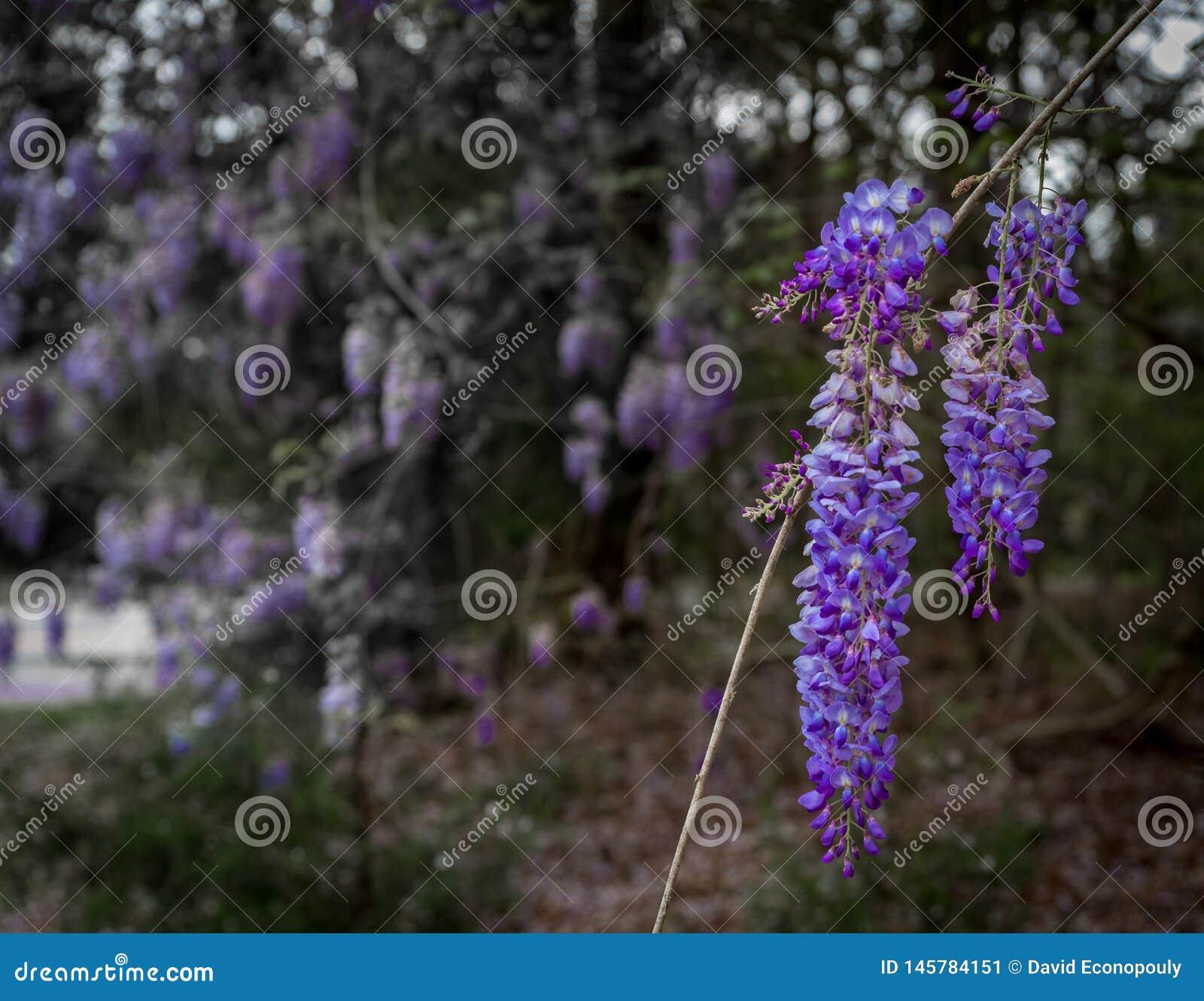 Groupe de fleurs de glycine pendant de l arbre