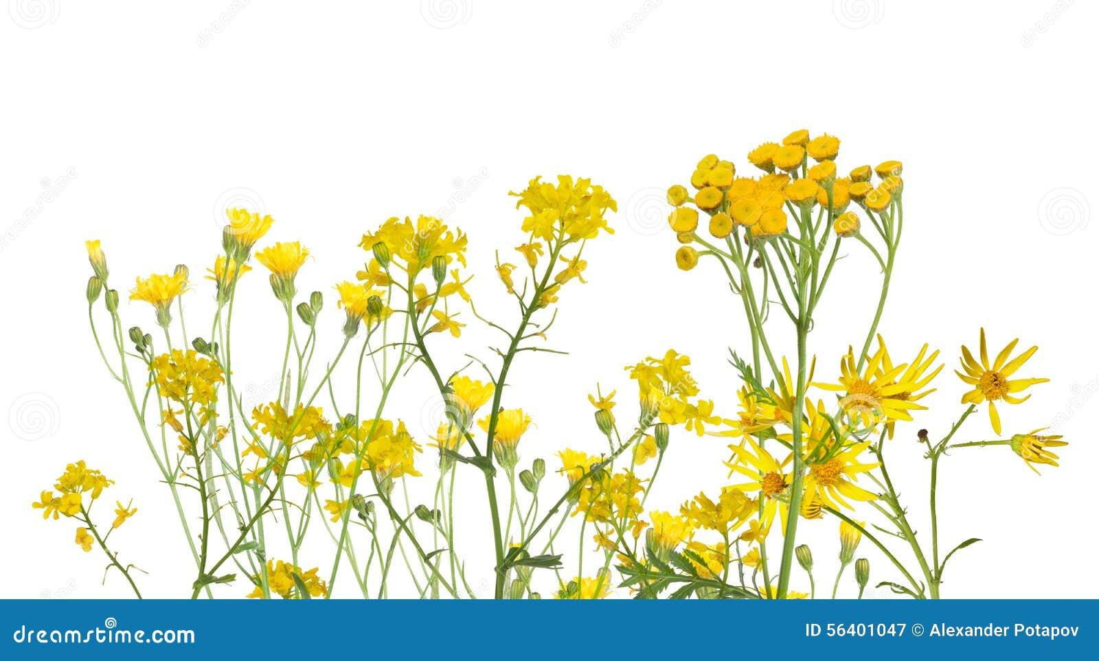 groupe de fleurs jaunes sauvages d 39 isolement sur le blanc image stock image 56401047. Black Bedroom Furniture Sets. Home Design Ideas
