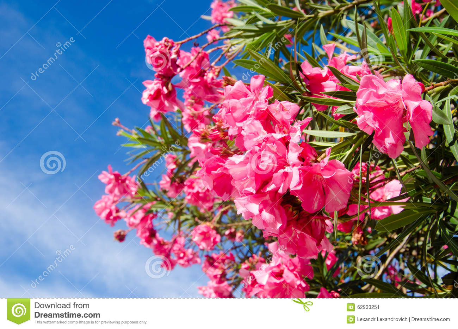 groupe de fleurs roses sur l 39 arbre chez les maldives photo stock image 62933251. Black Bedroom Furniture Sets. Home Design Ideas