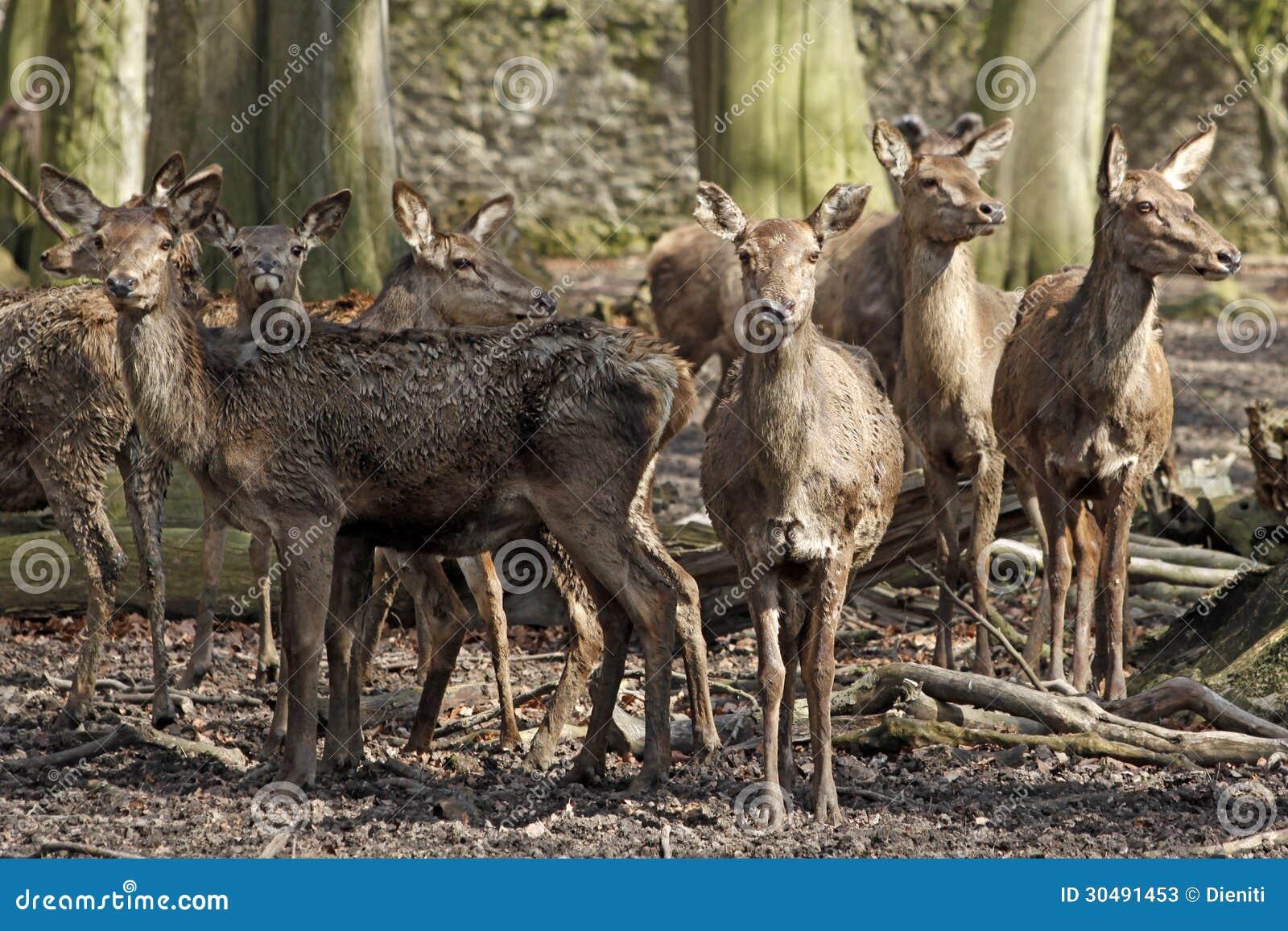 Groupe de hinds de cerfs communs rouges dans le manteau d hiver