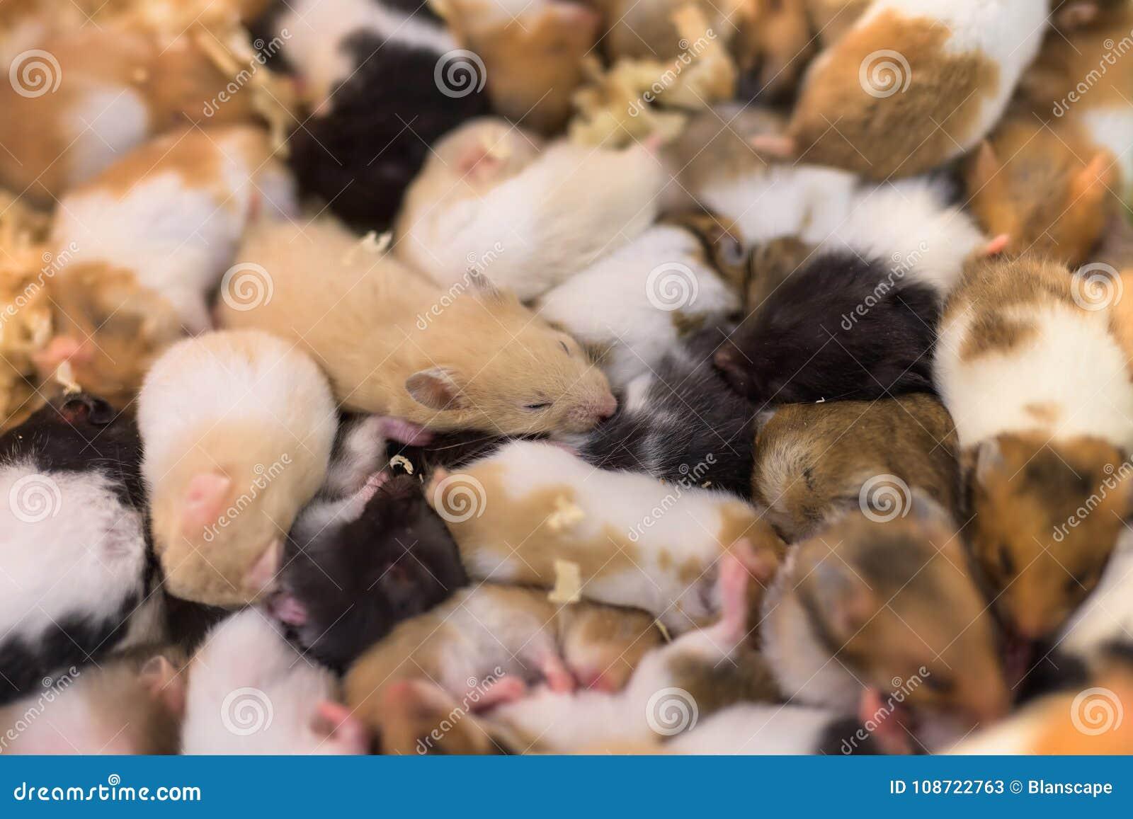Groupe de jeunes mouses de hamster