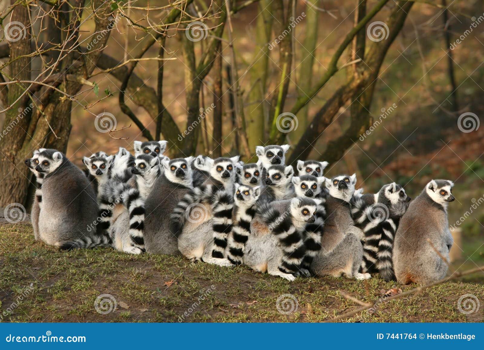 Groupe de lemurs ring-tailed