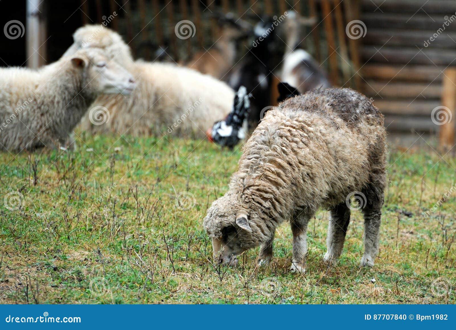 Groupe de moutons dans la ferme