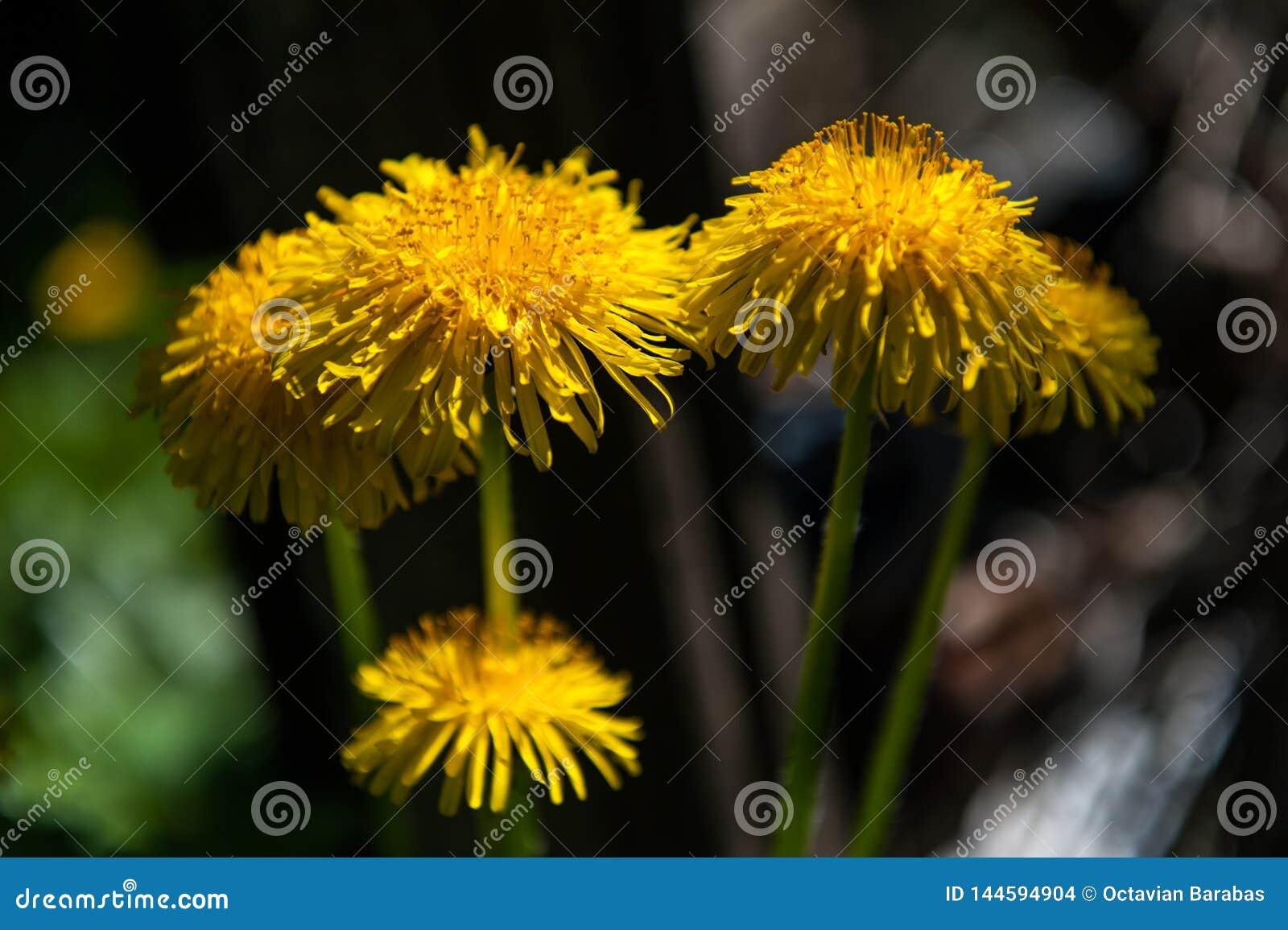 Groupe de pissenlits dans le jardin en atmosphère foncée