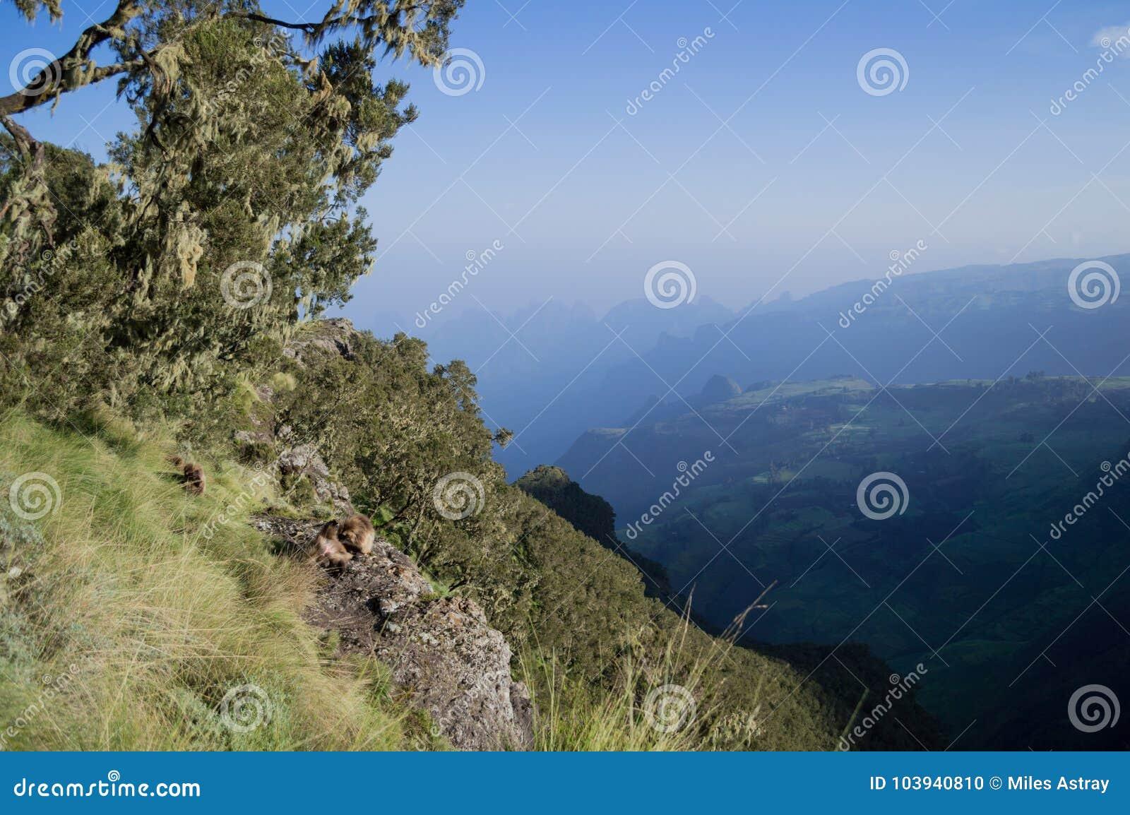 Groupe de singes de Gelada dans les montagnes de Simien, Ethiopie