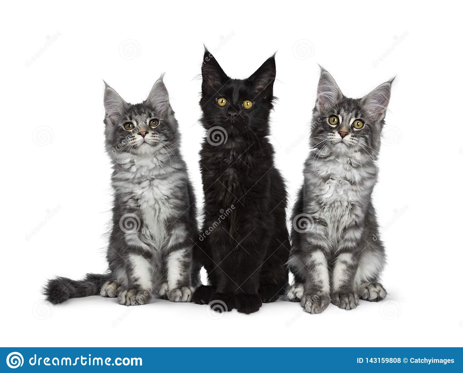 Groupe de trois chatons solides tigrés/noirs bleus de chat de Maine Coon sur le fond blanc