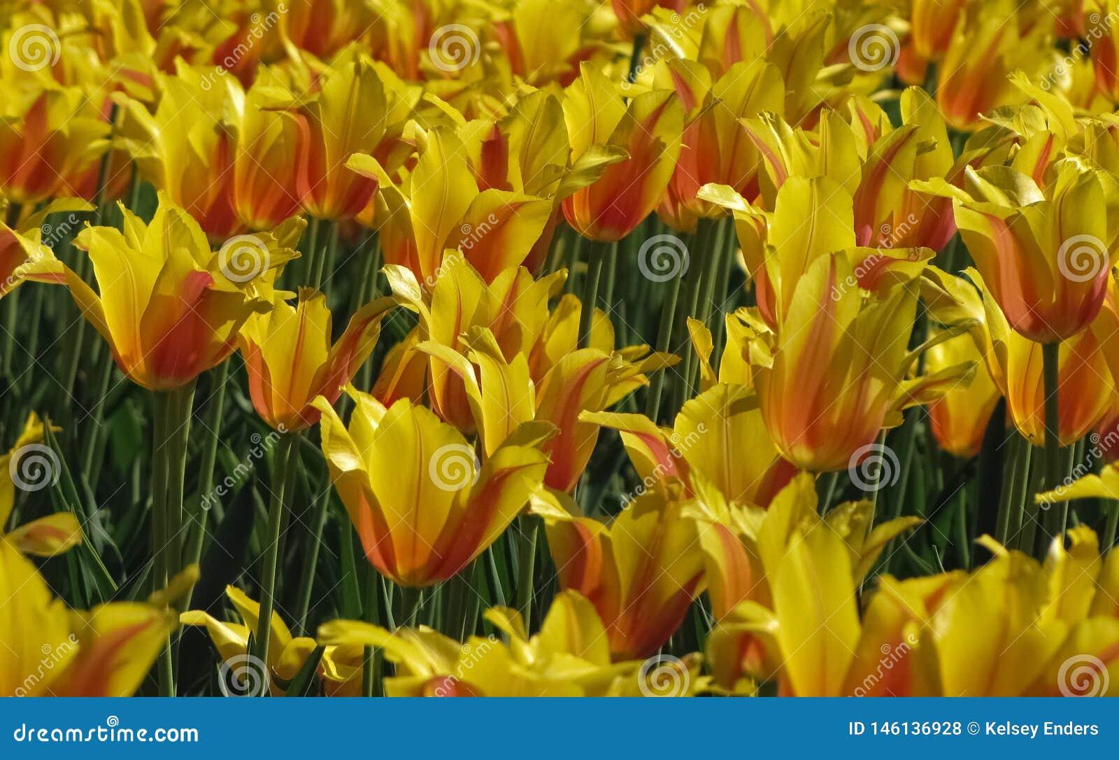 Groupe de tulipes jaunes et oranges