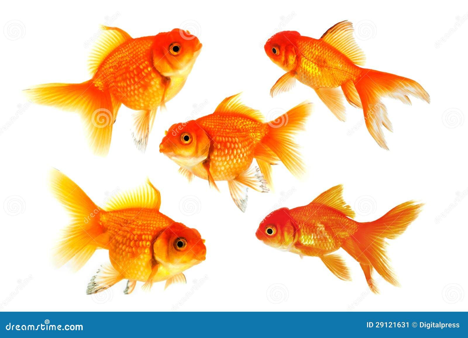 Groupe du poisson rouge image stock image 29121631 for Achat poisson rouge lyon