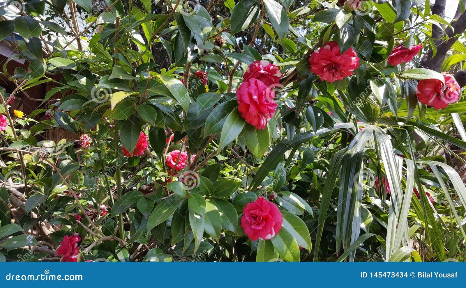 Groupe rouge de fleur