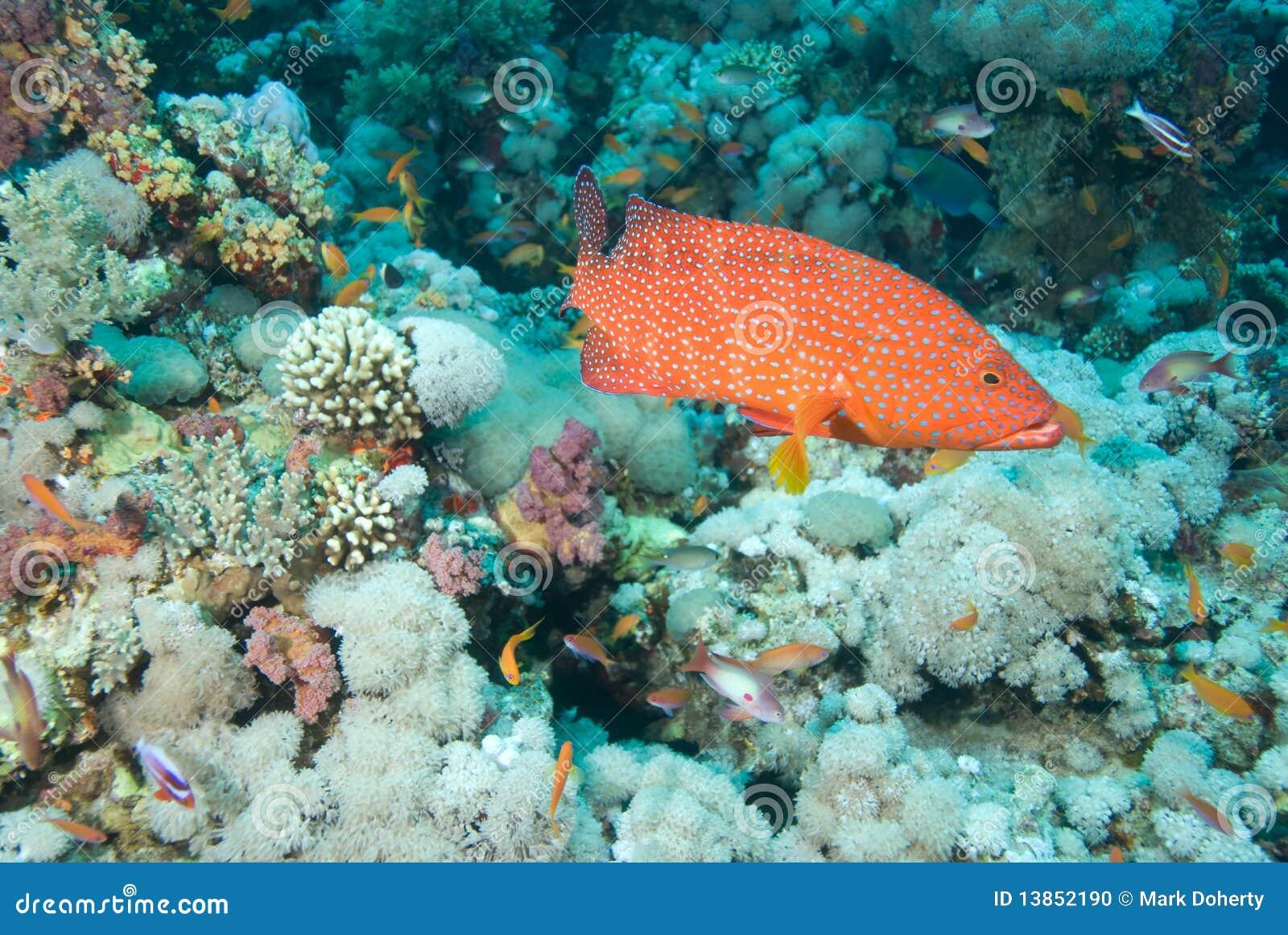 Grouper κοραλλιών