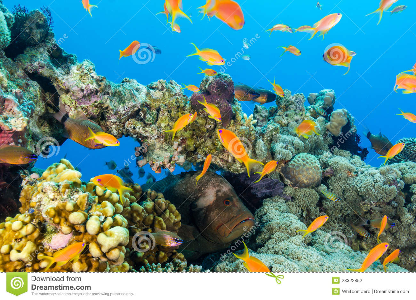 Grouper κρύβει μεταξύ των ψαριών σε μια πυραμίδα κοραλλιών