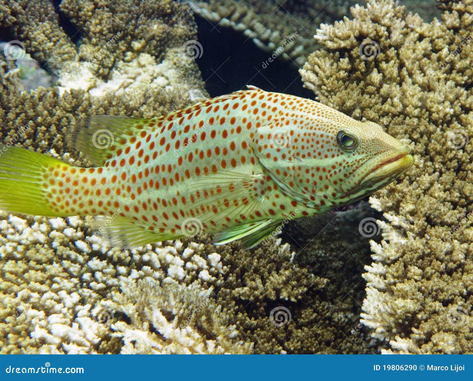 Grouper Μαλβίδες λεπτές
