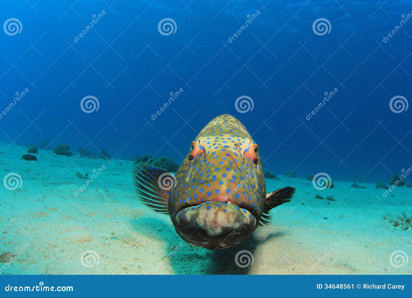 Grouper ψάρια