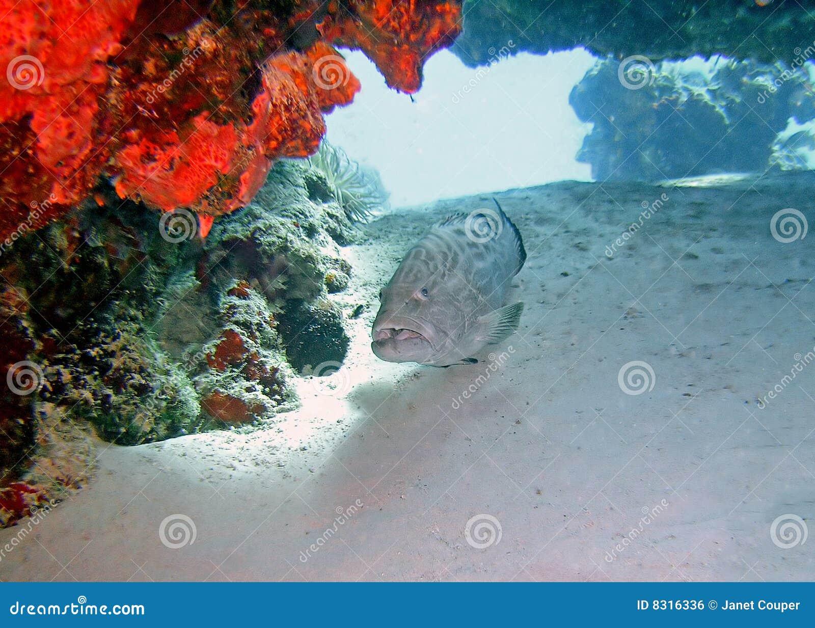 Grouper ψαριών κοραλλιών