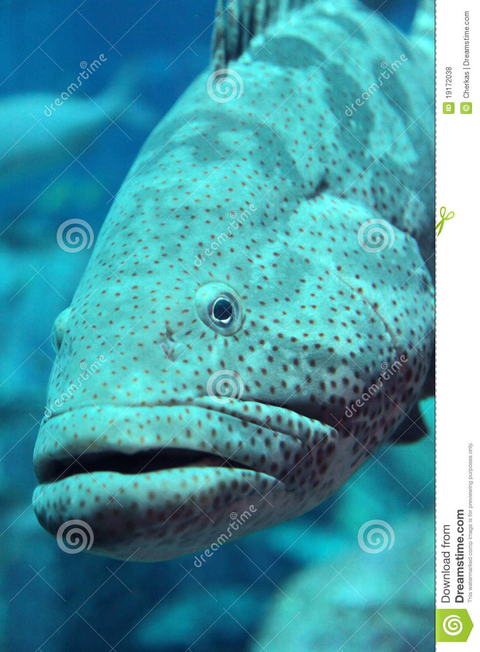 Grouper royalty free stock photos image 19172038 for Renew nc fishing license