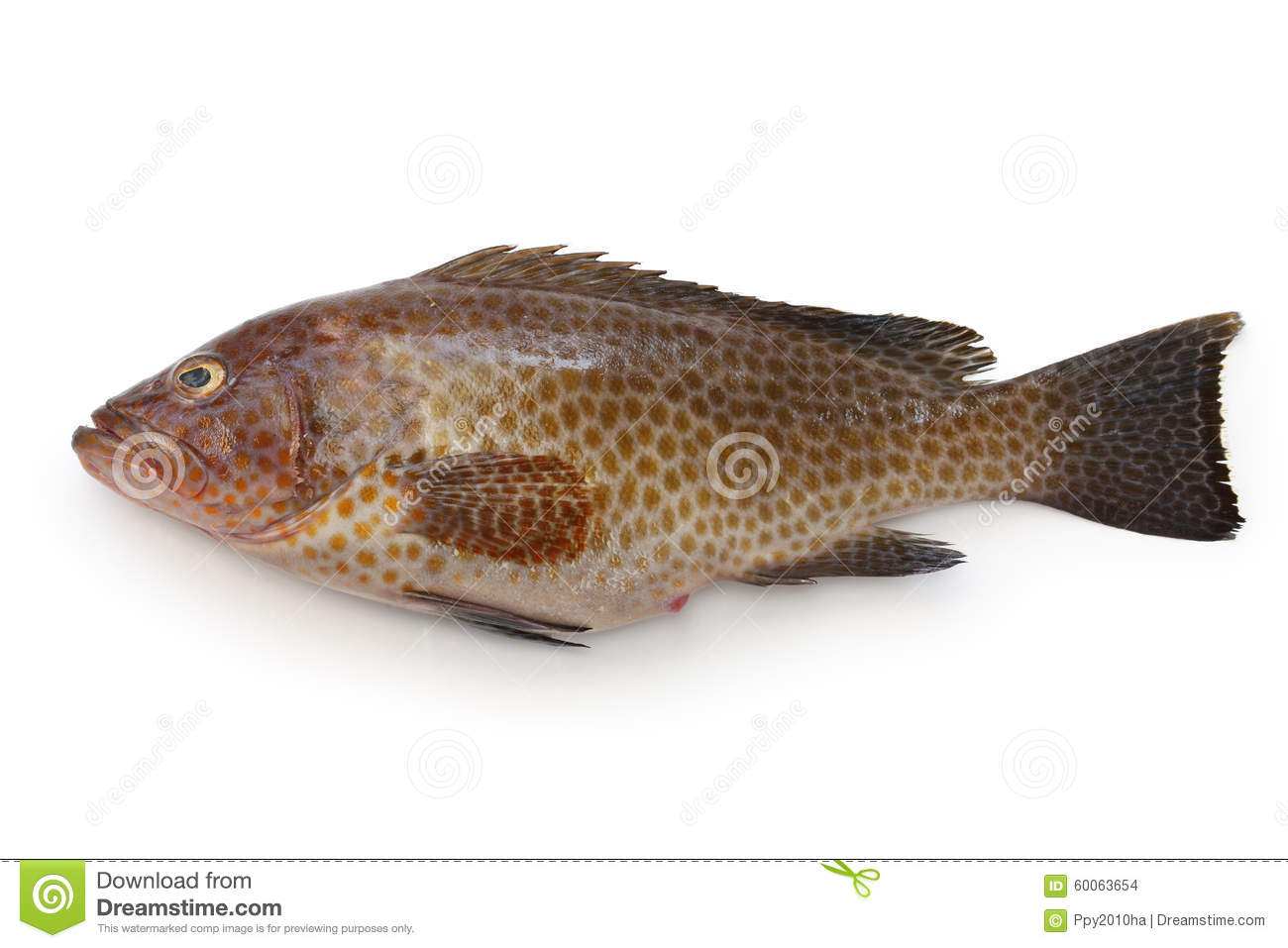 Grouper Areolate