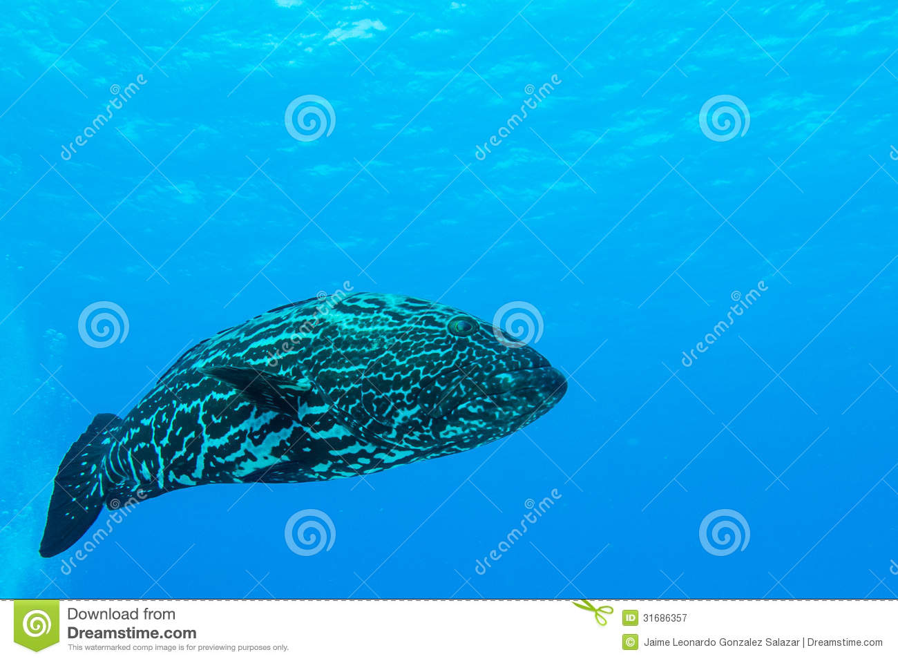 Grouper caribbean royalty free stock photography image for Caribbean reef fish