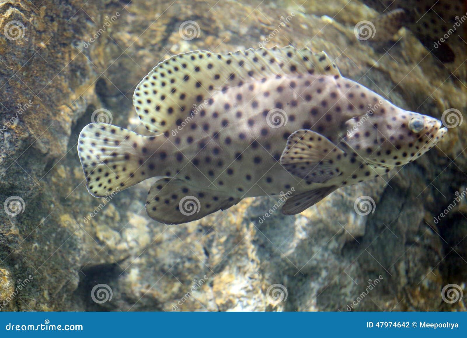 Grouper Humpback ή βακαλάος Barramundi, grouper πάνθηρων
