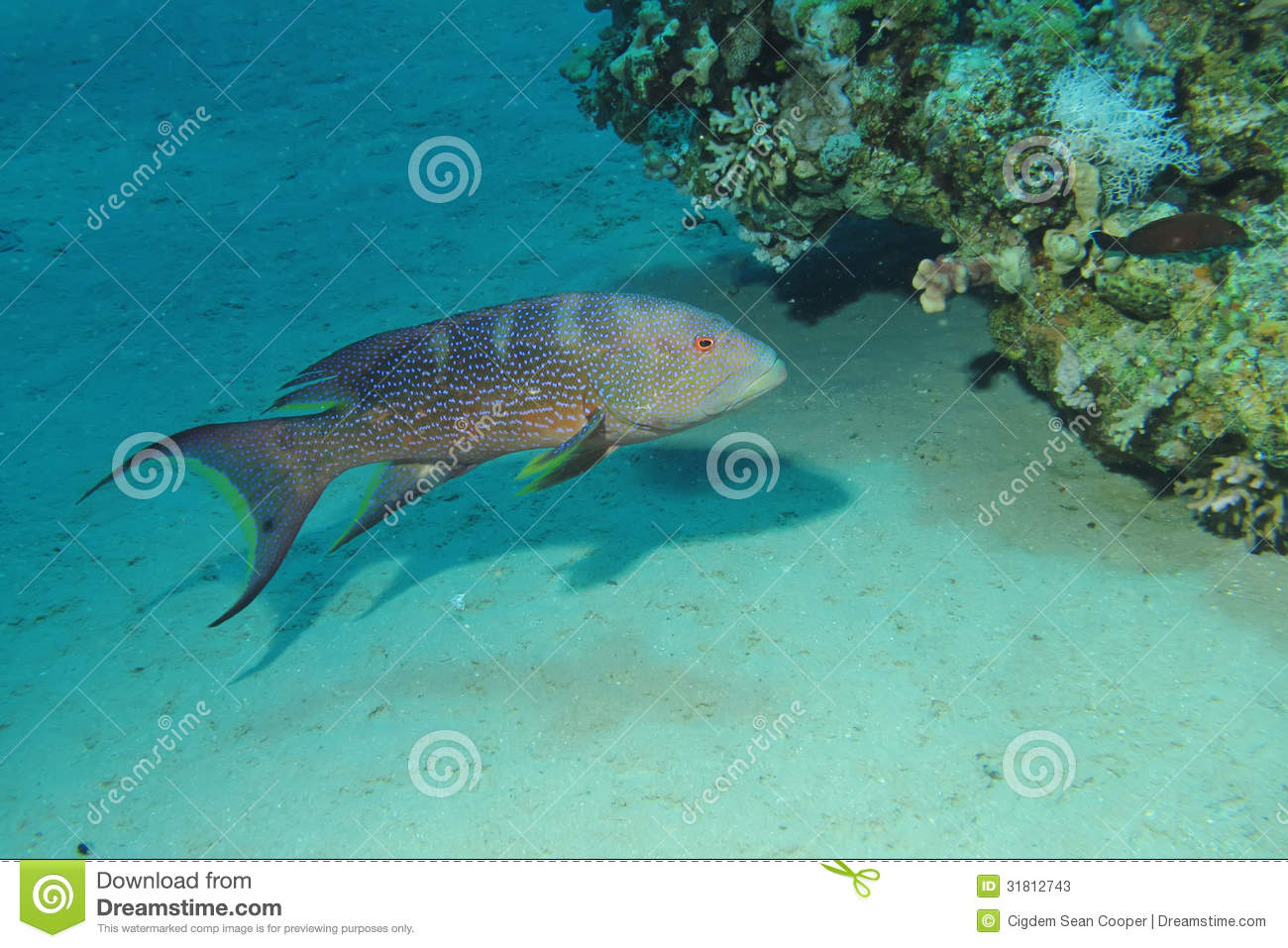 Grouper Lyretail