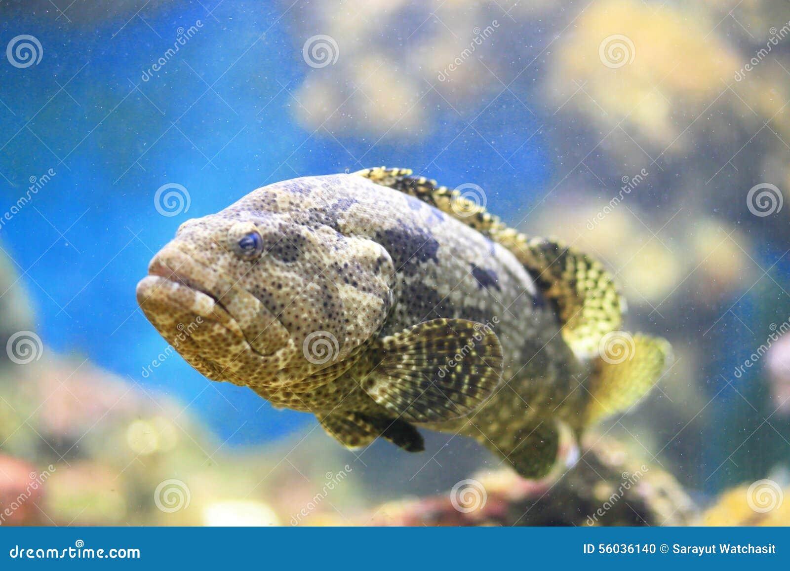 Grouper malabar