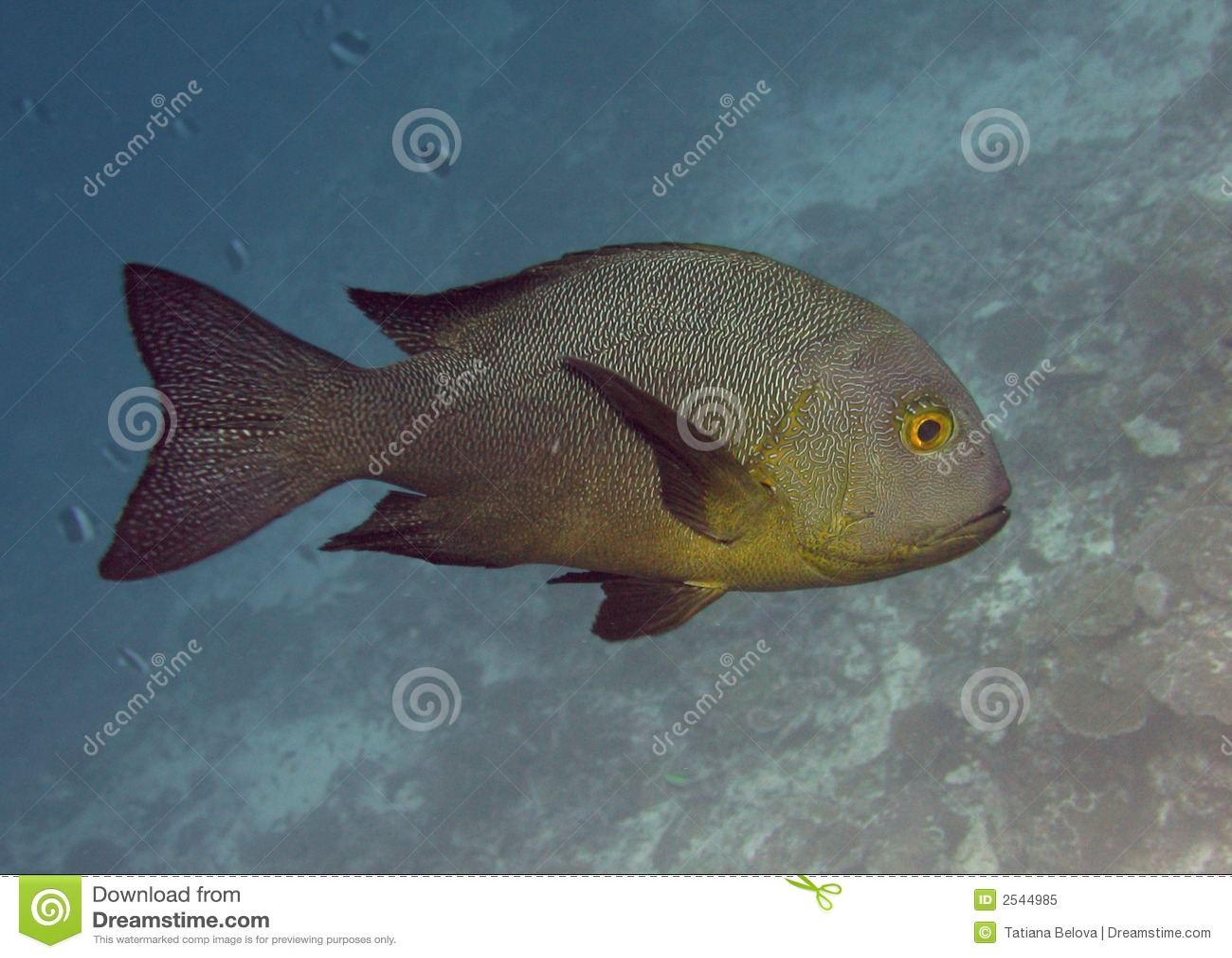 Grouper ryb