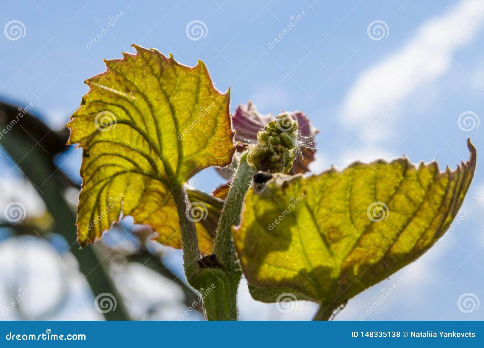 Groupes de jeunes raisins dans le jardin sous les rayons du soleil