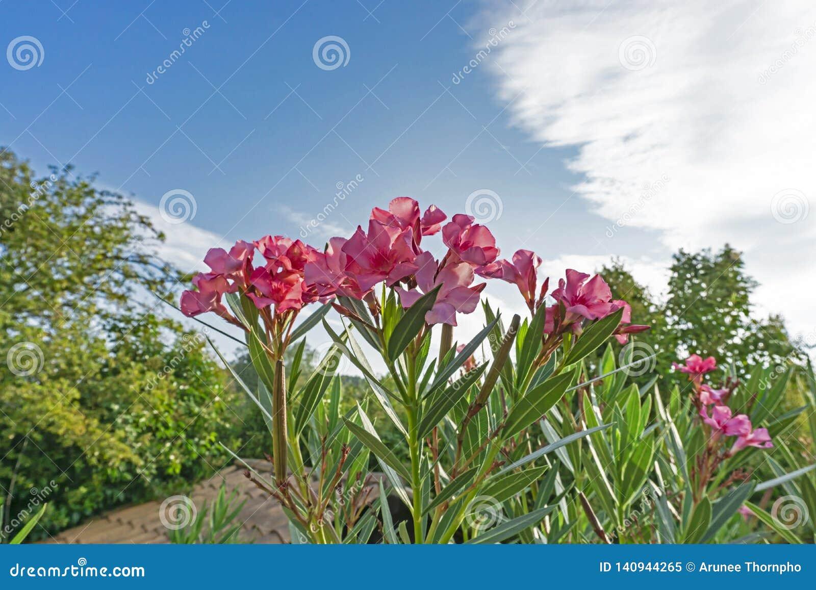 Groupes de pétales roses d oléandre ou de Rose Bay doux parfumé, fleurissant sur les feuilles vertes et le fond vif de ciel bleu