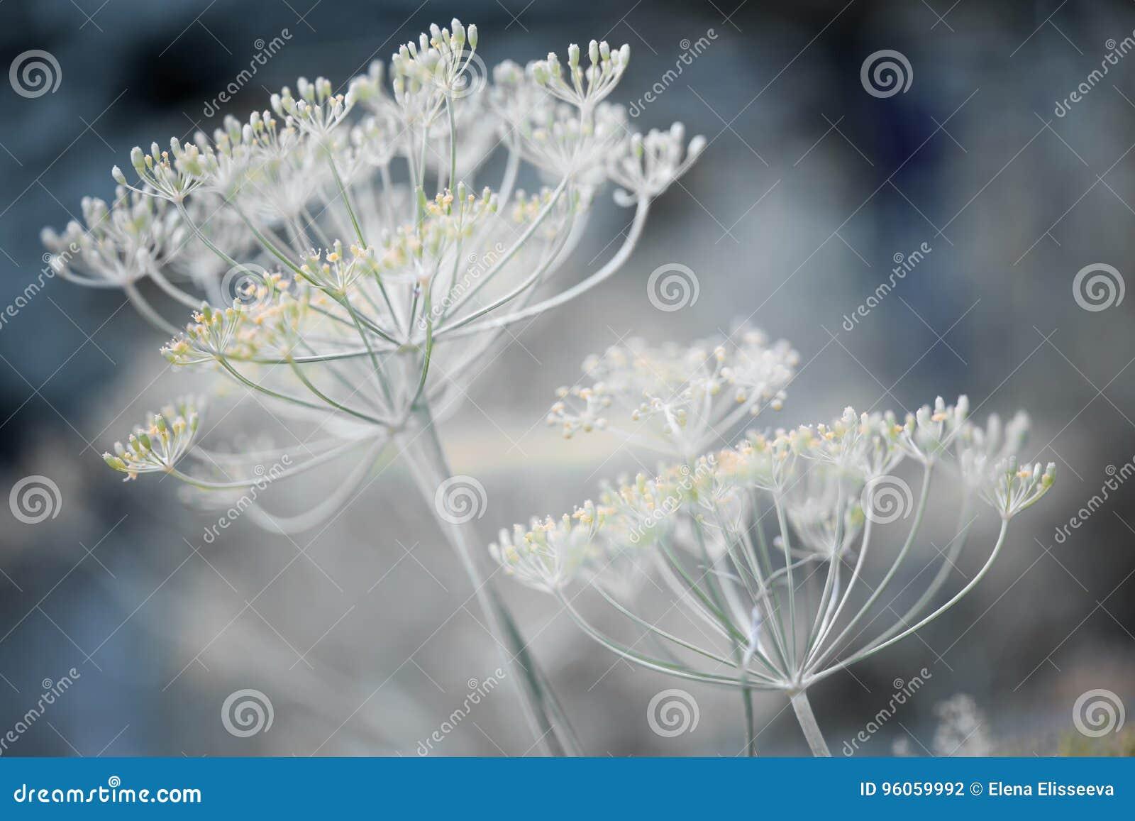 Groupes fleurissants d aneth