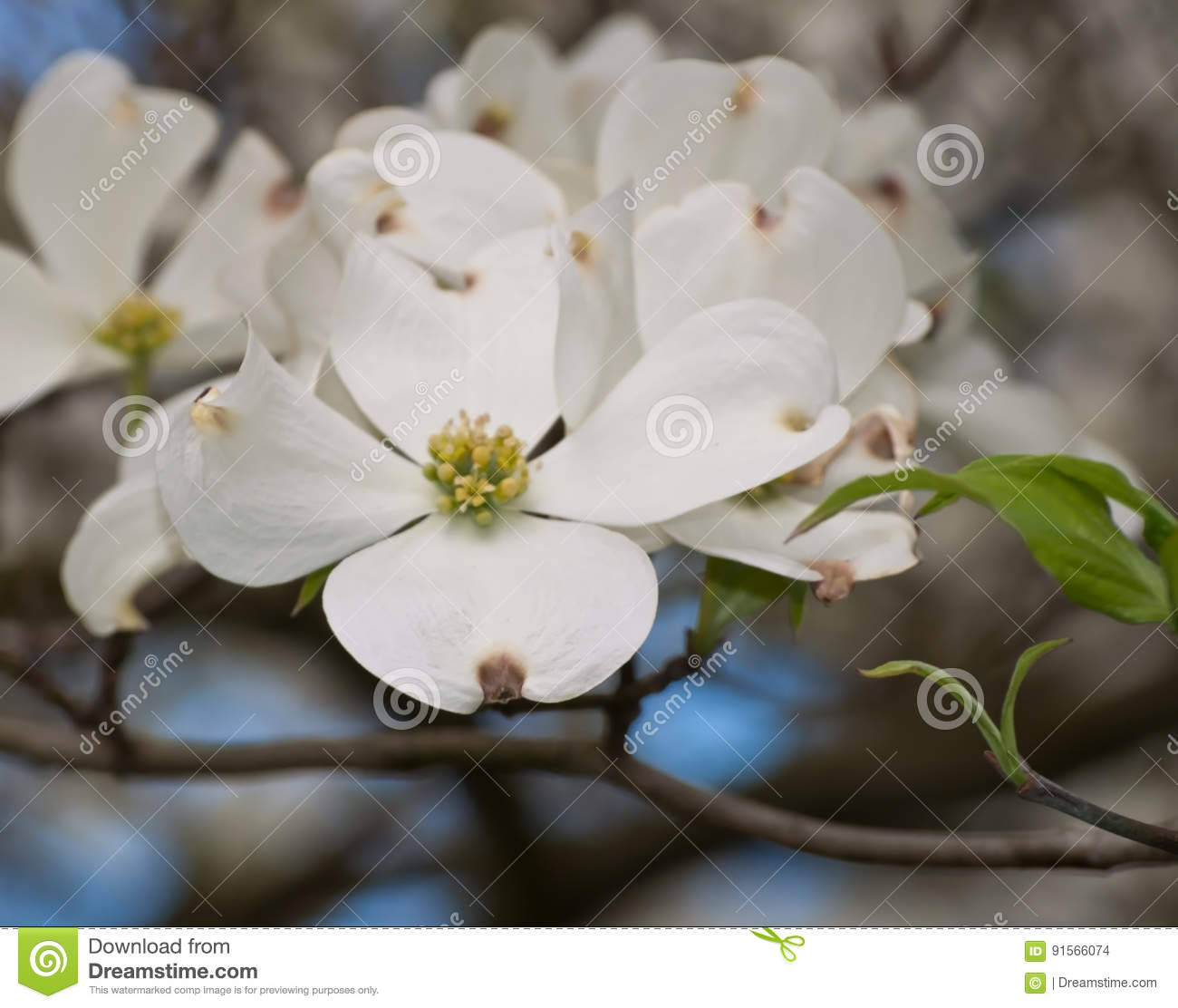 A Grouping Of White Dogwood Flowers Stock Photo Image Of Flower